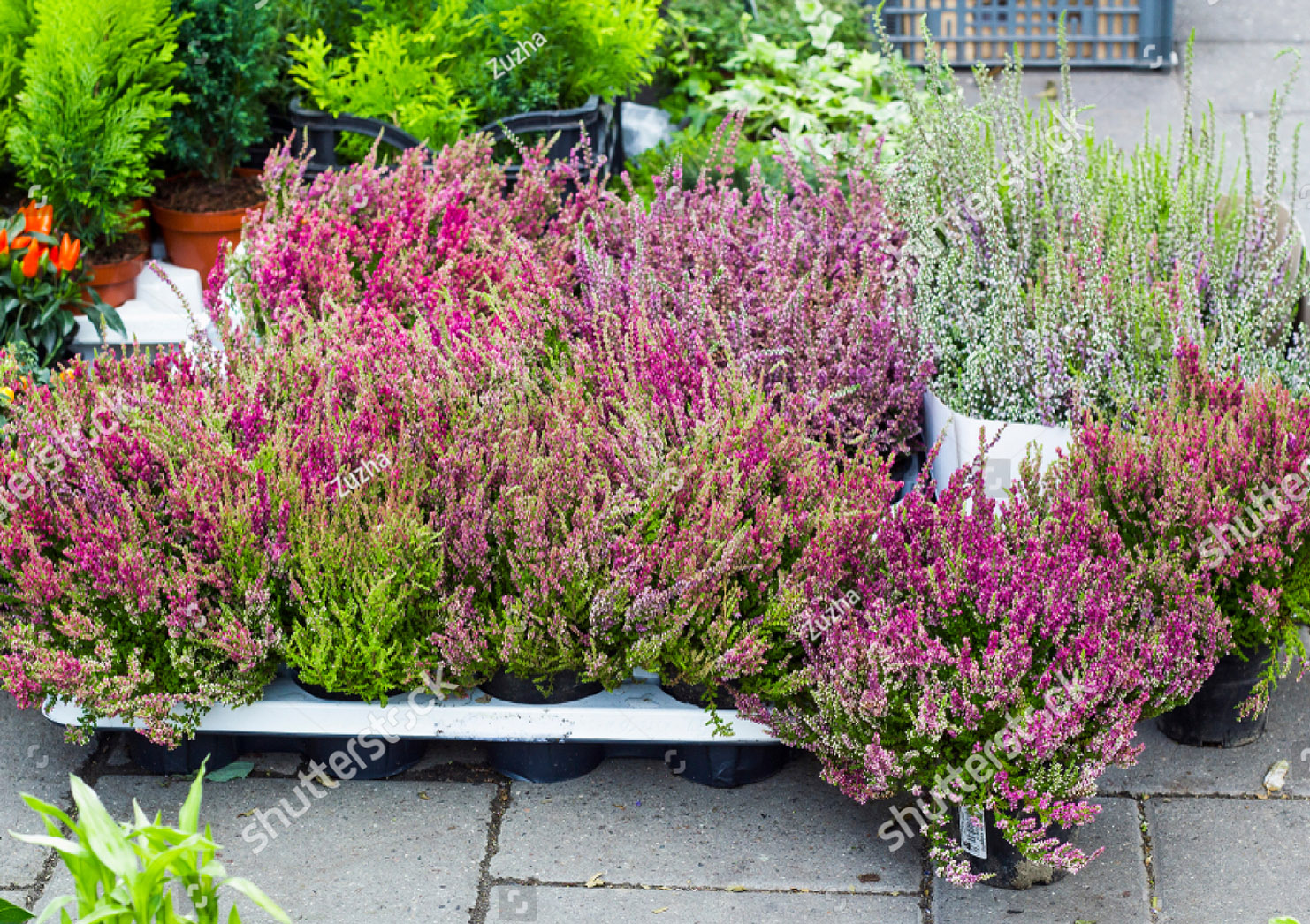 stock-photo-calluna-vulgaris-flowers-in-pots-sold-in-garden-center-known-as-common-heather-ling-or-simply-1013015476_klein