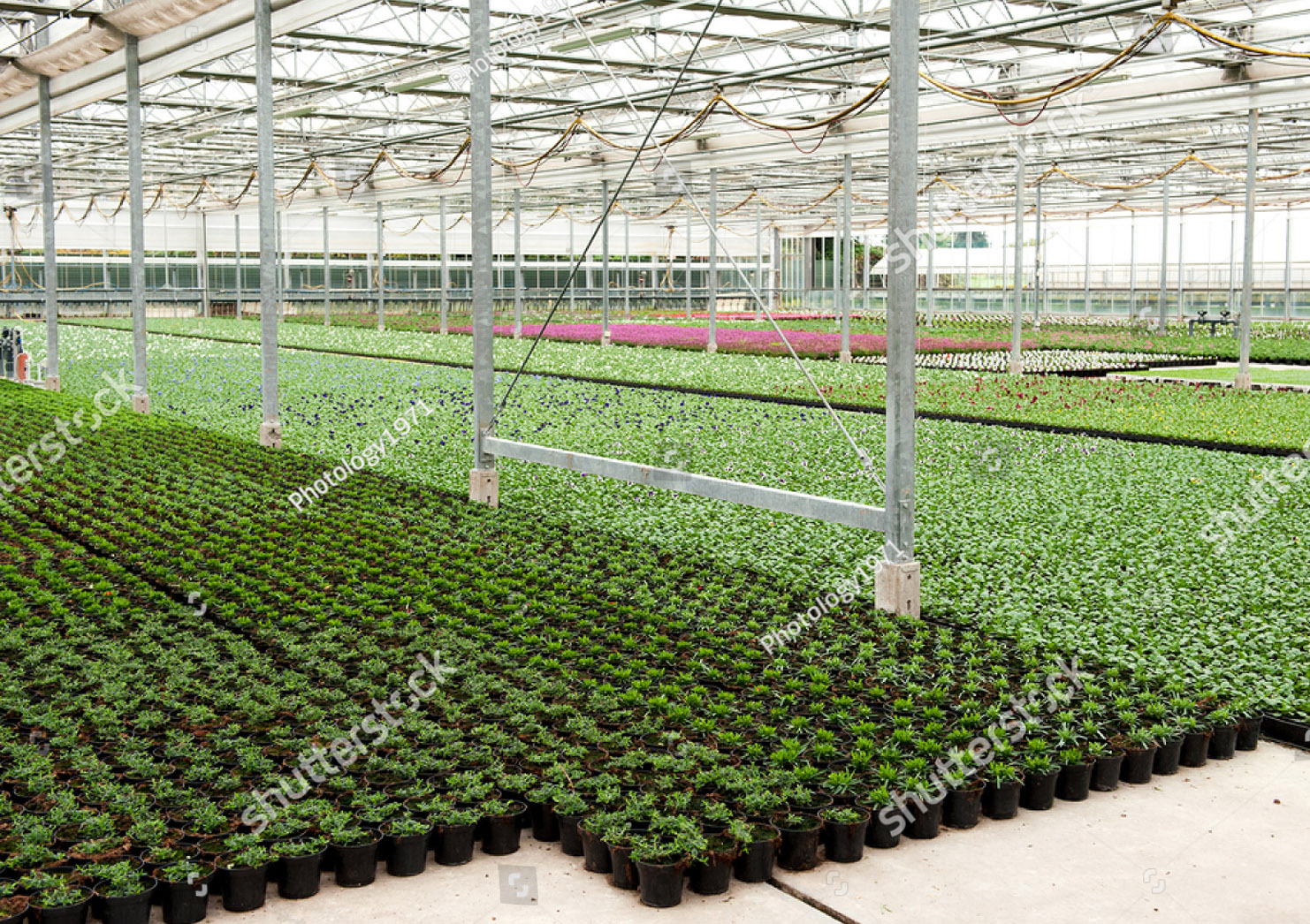 stock-photo-indoor-flower-cultivation-method-green-floor-of-planting-stock-greenhouse-covered-with-flower-pots-555179206_klein